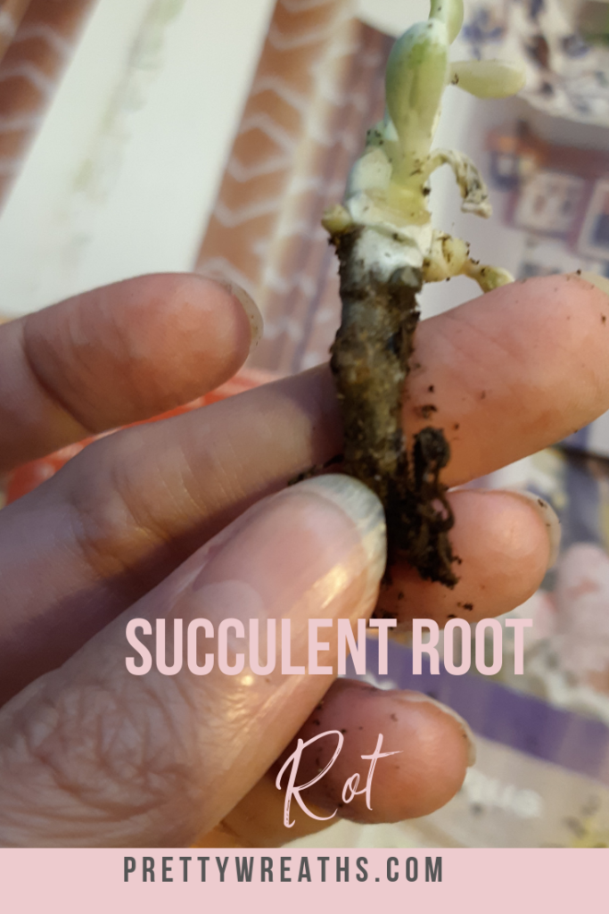 Cotyledon Orbiculata CV Variegated and Root Rot